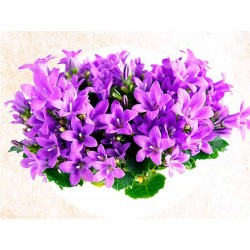 Aroma Natural de Violeta 30ml